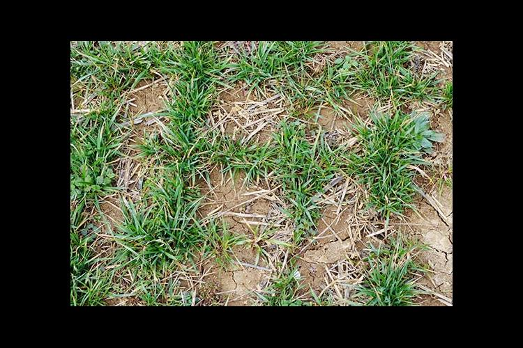 Newly established tall fescue stands