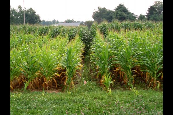 Corn growing in UK's Blevins research plots. Photo courtesy of John Grove, UK soil scientist.