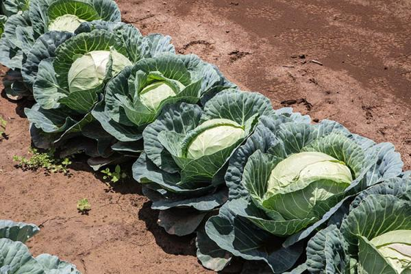 cabbages in field
