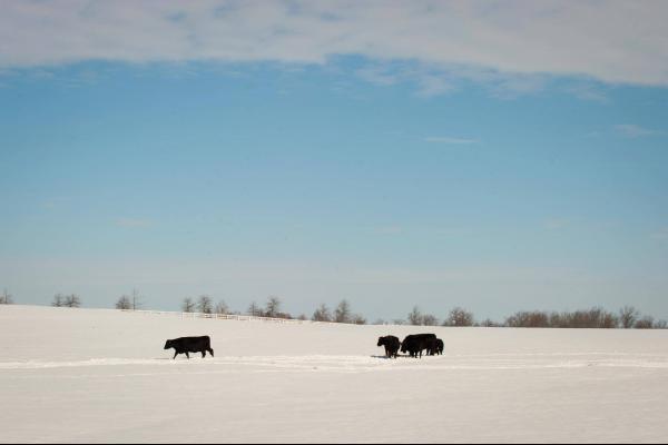 cows, snow, Kentucky