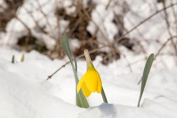 Yellow crocus above a blanket of snow