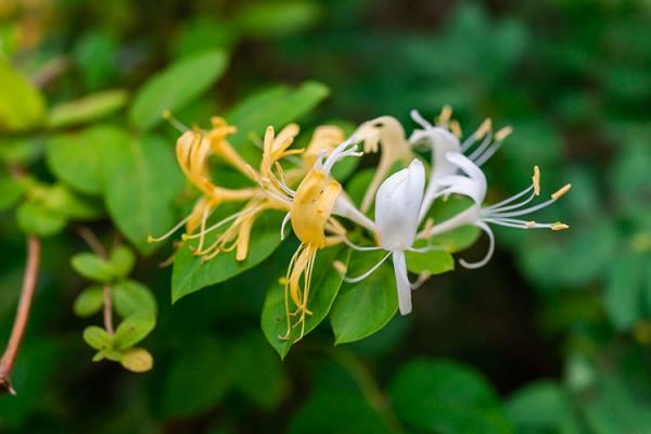 honeysuckle blossoms