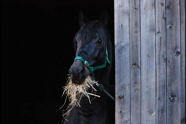 Black stallion eating hay