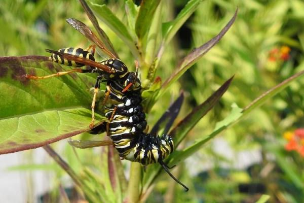 A European paper wasps attacks a monarch butterfly caterpillar. Photo by Daniel Potter, UK entomologist.