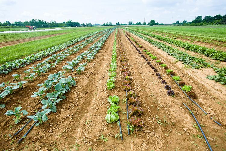 Rows of vegetables growing at UK's South Farm. Photo by Matt Barton, UK agricultural communications.