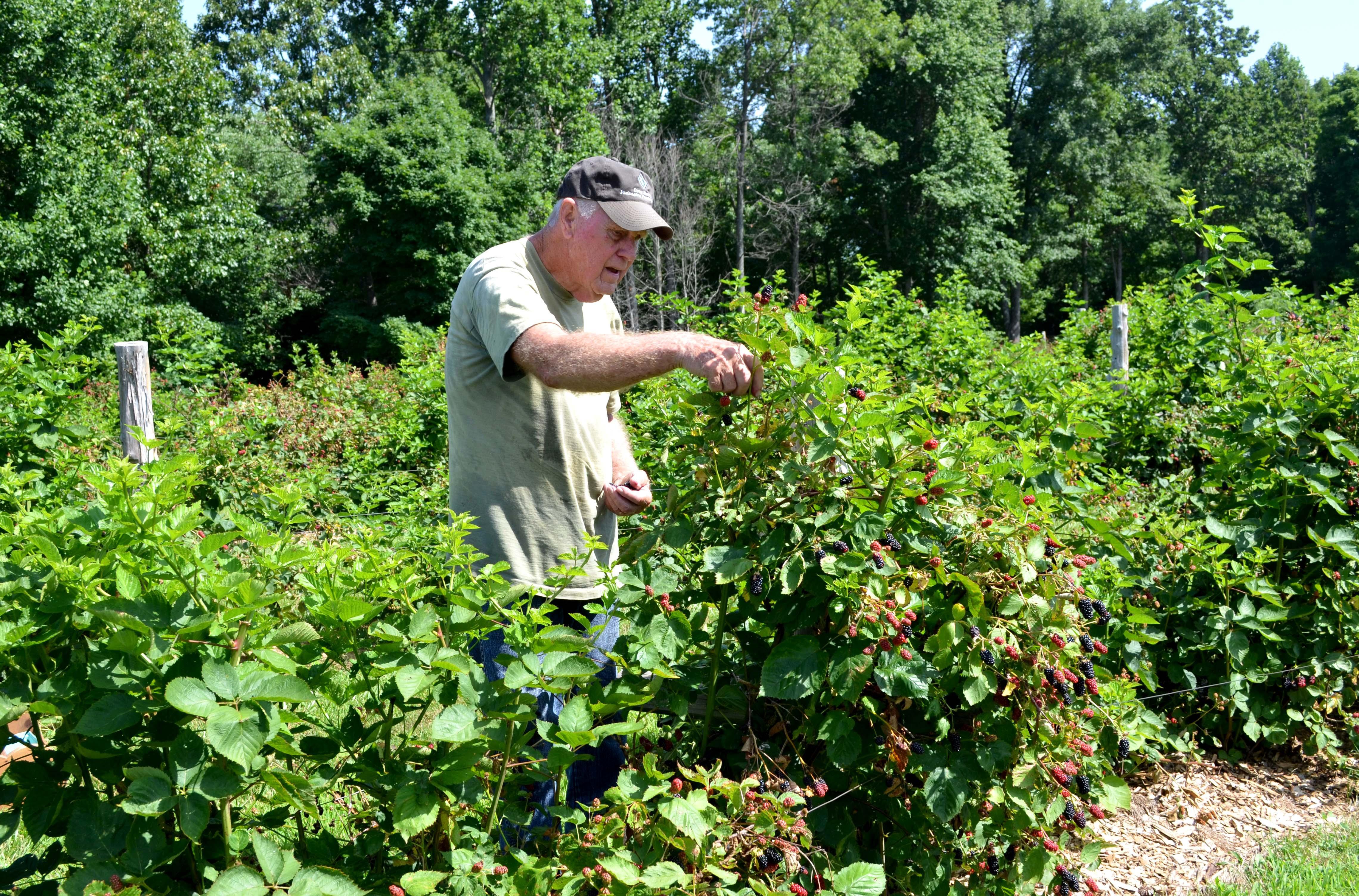 Bennie Winn picks blackberries on his Muhlenberg County farm. Photo by Katie Pratt, UK agricultural communications.