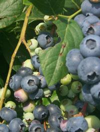 Locally grown highbush blueberries and blackberries are available across the state offering consumers a tasty and healthy treat. Interest in producing small fruits is growing in the state.