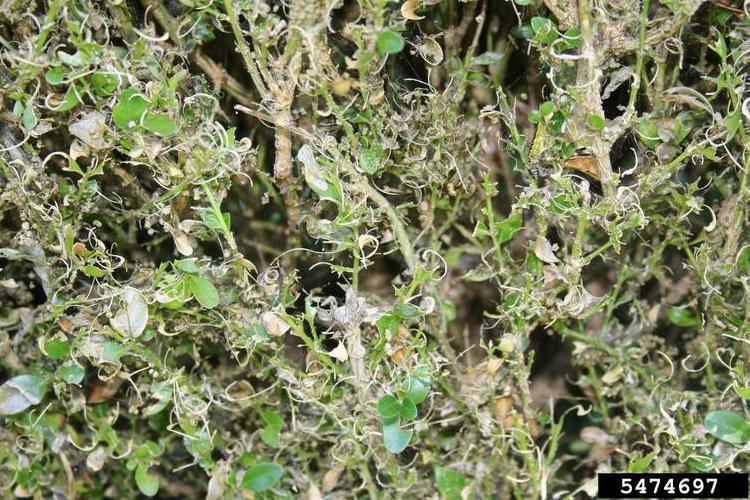 Damage to boxwoods caused by the box tree moth. Photo by Ferenc Lakatos, University of Sopron, Bugwood.org.