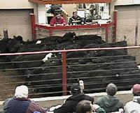 Producers combined like calves in a non-traditional sale at the Paris Stockyards in Bourbon, Co.