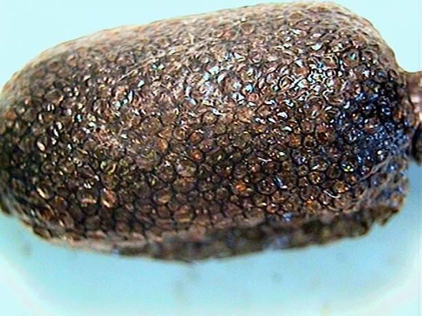 An up-close view of an eastern tent caterpillar egg mass.