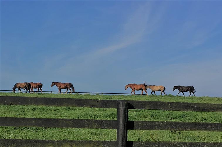 UK researcher Amanda Adams' geriatric horse herd at the University of Kentucky. Photo by Alisa Herbst, UK doctoral student.