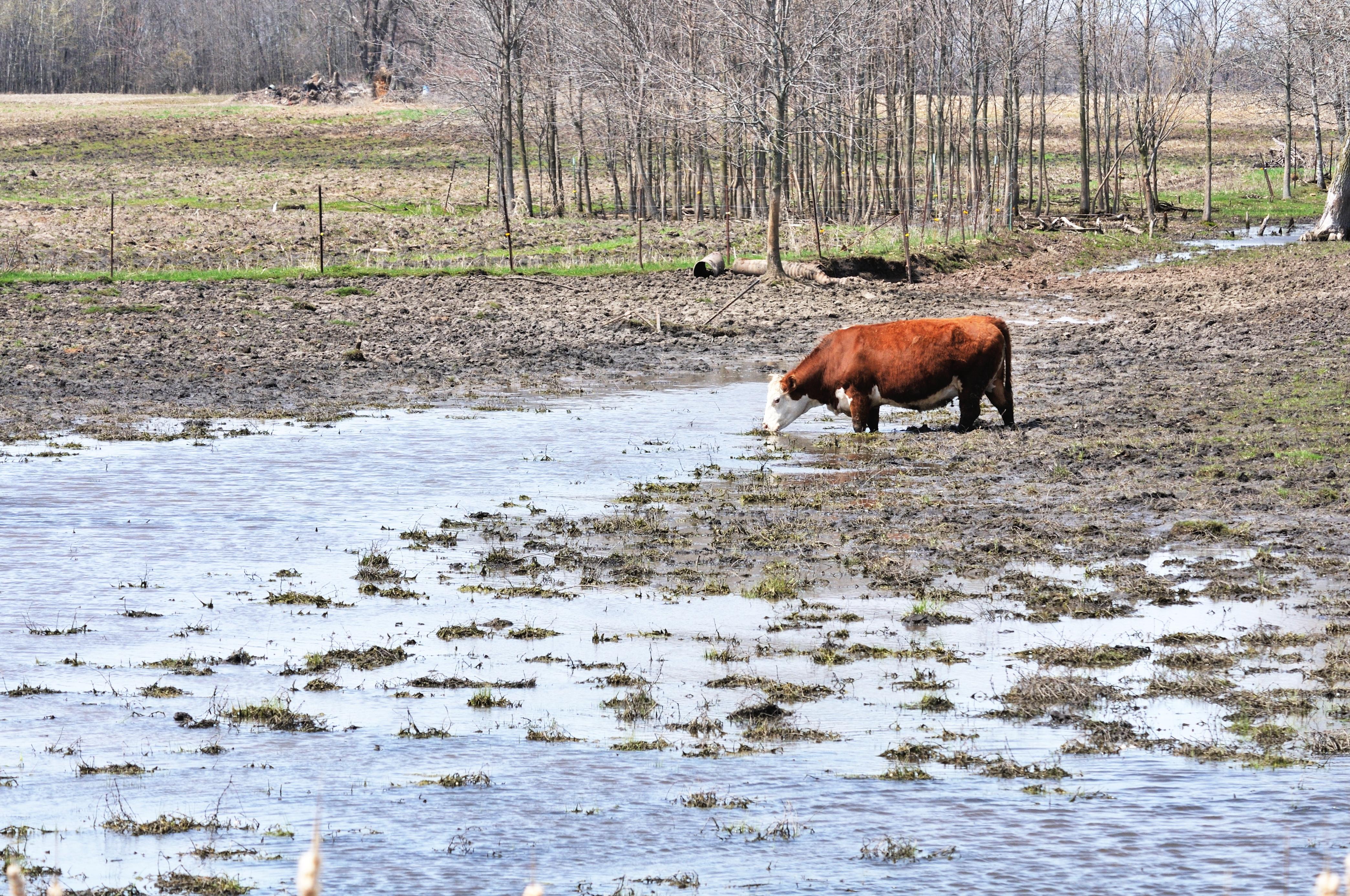 cow, mud, water
