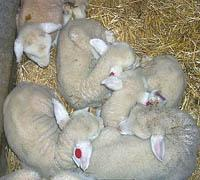 Lambs born at the UK Sheep Unit in 2000