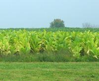 patch of no-till tobacco in Hardin County