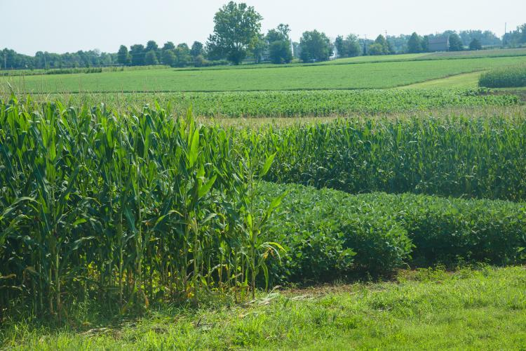 Corn and soybean test plots. Photo by Matt Barton, UK agricultural communications.