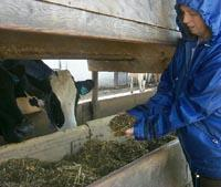Sharon Franklin, UK Dairy Scientist holds a sample of rations fed to dairy cows at the UK Dairy.