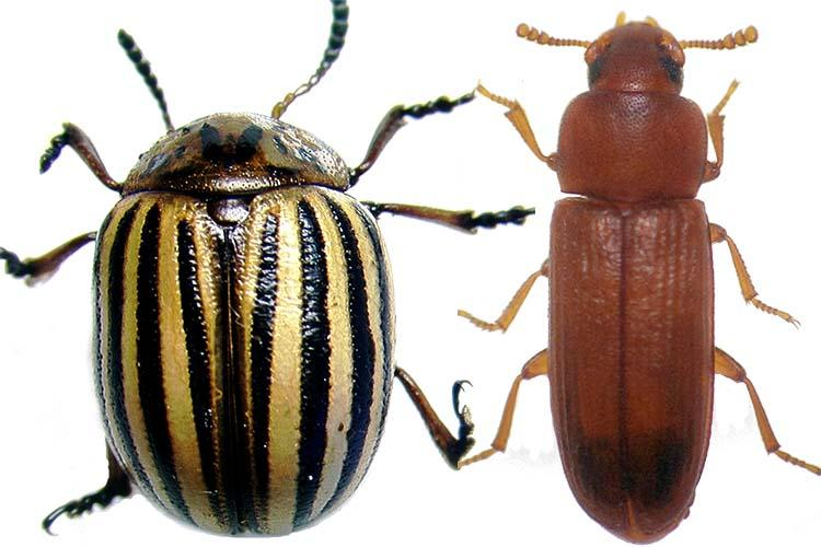 RNAi technology is very effective in controlling pests from the order Coleoptera like the Colorado potato beetle, left, but not very effective in controlling insects from other orders like the red flour beetle, right. Photo by Reddy Palli, UK entomologist
