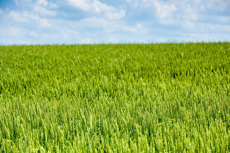Wheat field. Photo by Matt Barton, UK agricultural communications.