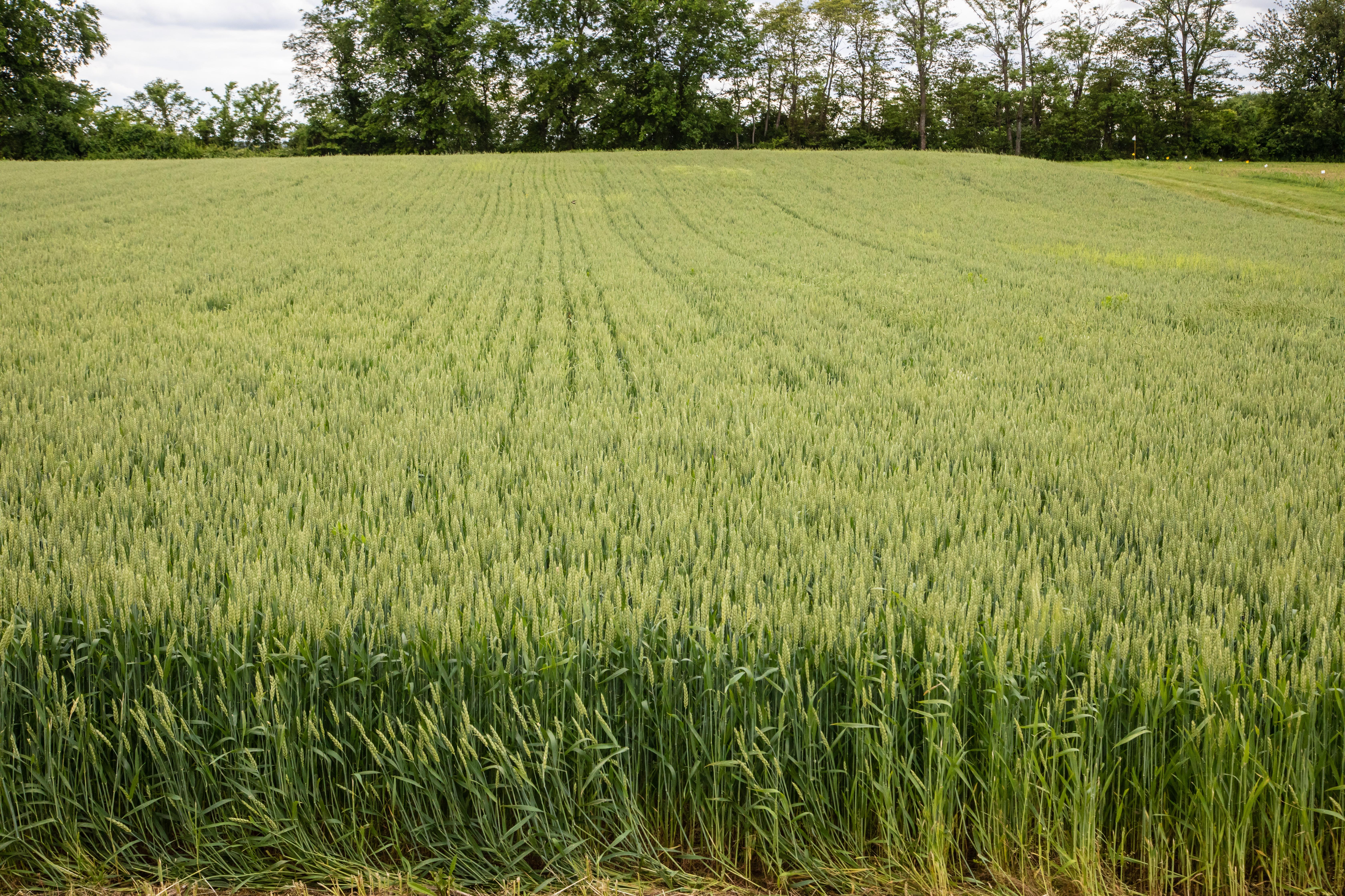 Winter wheat grows in plots at the UK Grain and Forage Center of Excellence last spring. Photo by Steve Patton, UK agricultural communications.